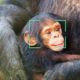 Chimp Facial Recognition ChimpFace - YellRobot